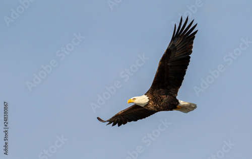 Deurstickers Eagle Bald eagle (Haliaeetus leucocephalus) soaring in blue sky, Iowa, USA.