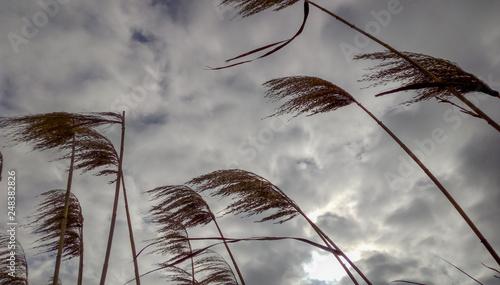 Fotografia Juncos movidos por el viento en laguna Cádiz con cielo