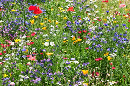 Fototapeta Colorful wildflowers in summer meadow - Wildblumenwiese obraz