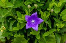 Purple Flower, Bud And Leaves Of Balloon Flower Or Bellflowers (Platycodon Grandiflorus)