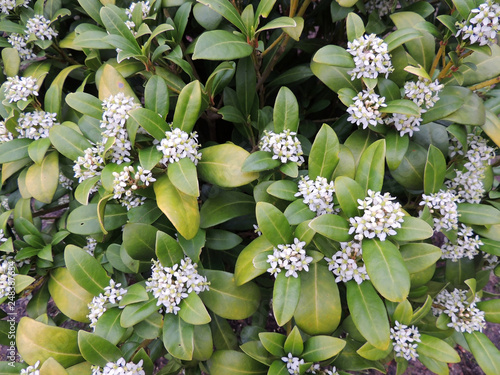 Canvas Print Fragrant wolfberry, Daphne odora, during flowering