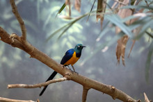 Golden Breasted Starling, Cosmopsarus Regius, Glossy Starling Sitting On The Tree Branch In Denver Zoo