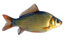 Crucian Fish (lat. Carassius) On A White Background. Isolate.