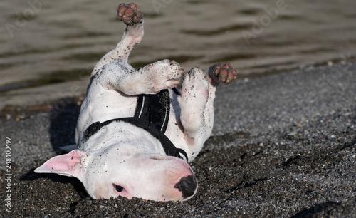 Stampa su Tela Bull terrier miniatures