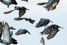 Flock Of Speed Racing Pigeon F...