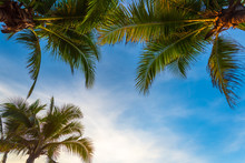 Coconut Tree And Blue Sky Background With Coconut Leaves, Copy Space For Text.