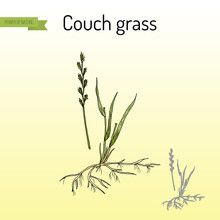 Couch Grass, Elymus Repens, Or Twitch, Medicinal Plant