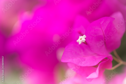 Spoed Fotobehang Roze Close up nature view of pink paper flower under sun light. Natural green plants landscape using as a background or wallpaper.