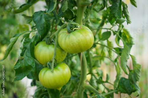 Fotomural 温室で育てるトマト