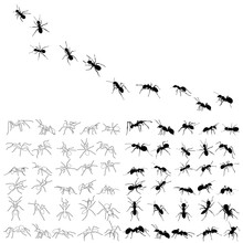Set Of Ant Silhouette, Isolate...