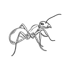 Ant Sketch On White Background, Isolated, Vector