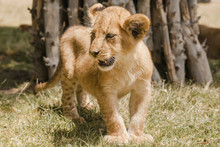 Lion Cub Near Tree Trunk