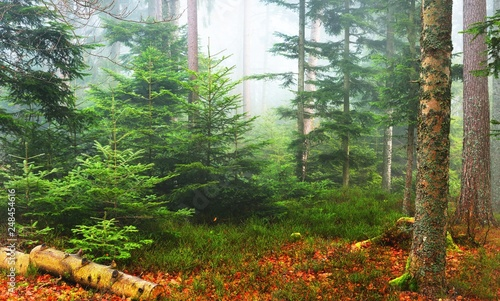 Foto auf Leinwand Khaki A scene in a misty pine forest with small pines and a fallen tree stump. French Alsace, Vosges mountains