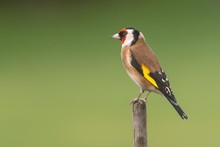 A Goldfinch Perching On A Branch With A Clear Background