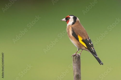 Fototapeta A Goldfinch perching on a branch with a clear background