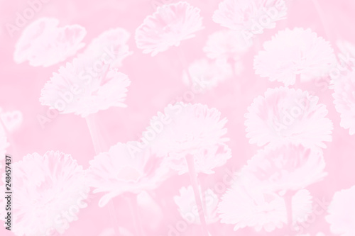 Flower Daisy Gentle In Pastel Colors On Plain Background