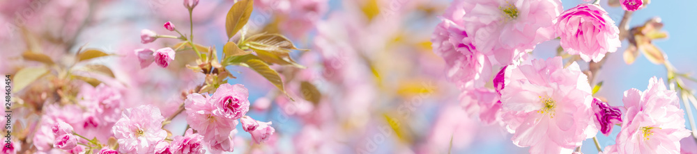 Fototapety, obrazy: springtime panorama  background  with pink blossom