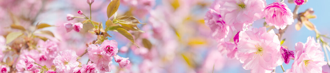 springtime panorama  background  with pink blossom