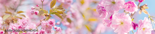 Foto op Canvas Kersenbloesem springtime panorama background with pink blossom