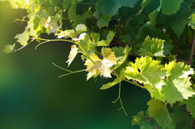 Dark Green Background With Branch Of Vine Leaves. Image
