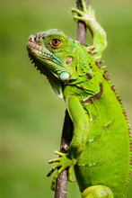 Close Up View Of A Green Iguana