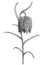 Snake's Head Fritillary Illustration, Drawing, Engraving, Ink, Line Art, Vector