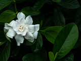 Big White Gardenia Flower Blooming