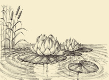 Water Lily On The Lake Vector Hand Drawing