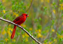 Red Male Cardinal On Branch