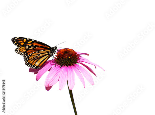 Vászonkép Orange and black monarch butterfly on a purple coneflower isolated on white back