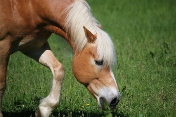 Naklejka na ściany i meble beautiful haflinger horse is eating fresh grass on the paddock