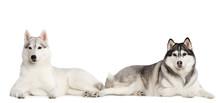 Siberian Husky Dog Isolated  On White  Background In Studio
