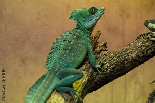 Photo  Green lizard