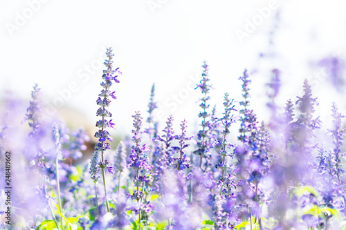Photo  Nature and beauty of the blooming Lavender fields