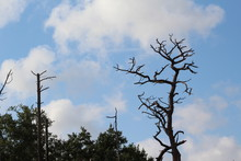 Dead Bare Tree Tops With White Fluffy Clouds Against Blue Sky