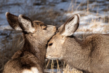 Twin Mule Deer Fawns Nuzzling;...