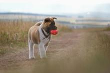 American Akita Puppy Playing Ball