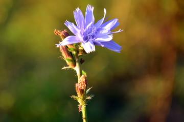 piękny niebieski polny kwiat