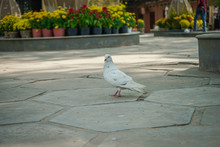 Dove On The Street,The Dove Came Together To Eat Food,waste,rice, On The Streets In A Padoda