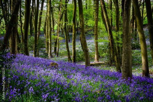 Foto auf Gartenposter Wald Bluebells Landscape