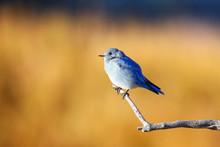 Male Mountain Bluebird Sitting On A Stick