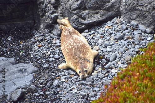 Fotografie, Obraz  Harbor Seal at Sea Ranch, CA sanctuary