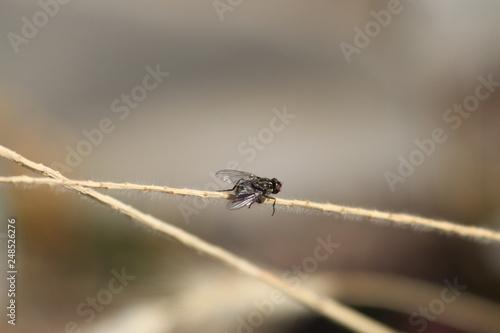 Fotografía  mosca común