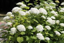 Hydrangea Arborescens Or Smoot...