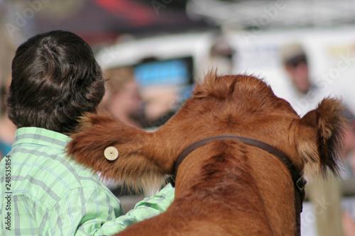 Slika na platnu Livestock show