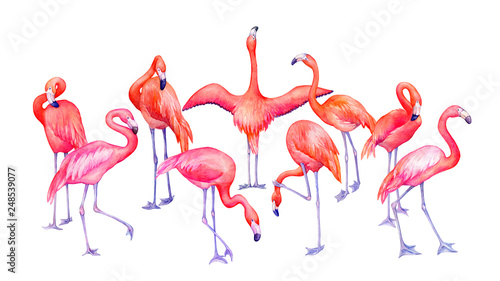 Canvas Prints Flamingo Bird Group of tropical pink flamingos bird (flame-colored) in different poses. Hand drawn watercolor painting illustration isolated on white background.
