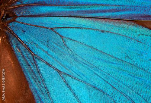 Menelaus blue morpho - Morpho menelaus - macro butterfly 3