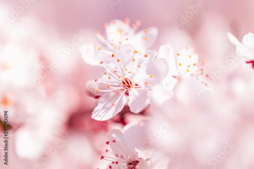 Fototapeta Pink sakura flower bloom in spring season. Vintage sweet cherry blossom soft tone texture background. obraz na płótnie