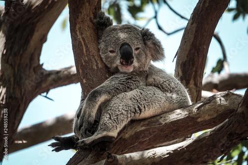 Garden Poster Koala koala in tree