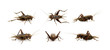 Group of cricket on white background., Insects. Animals.